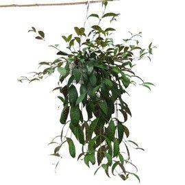 Plante aux tiges rampantes ou retombantes, intéressante pour son feuillage panaché dans les tons de vert et de pourpre.