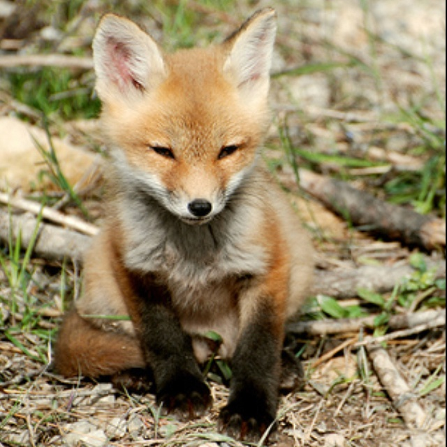 Baby red fox face