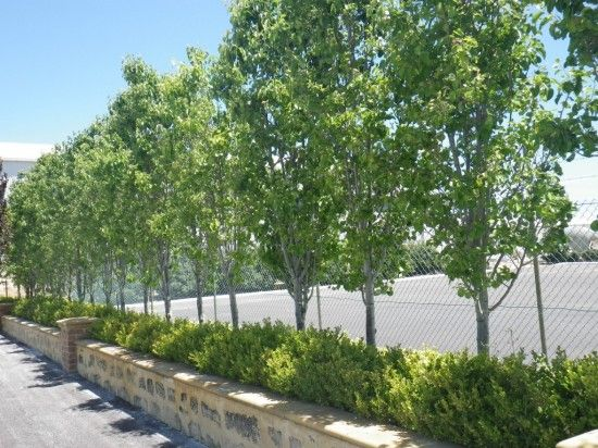 Ornamental Pear tree » Landsdale Plants