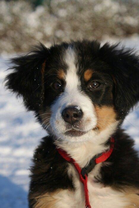 Benner senner pupy ️ ️ ️ | schattigg | Pinterest | Pets ...