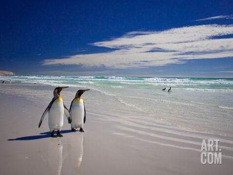 King Penguins At Volunteer Point On The Falkland Islands Premium Poster by Neale Cousland at Art.com