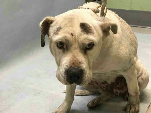 """MINA"" TO BE DESTROYED BY NYC ACC - TODAY - 12/23/16 -VET BILLS PAID IF YOU FOSTER! - PLEASE HELP - HAS FRACTURED PELVIS. NYC WON'T TREAT. AVAILABLE AT BROOKLYN ACC - # 1099940 - urgentpodr.org."