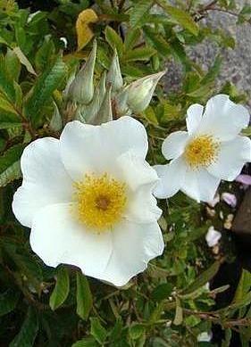 'Jelena de Belder' - Lens (1996). Bladhoudende heesterrroos.  Het blad heeft een ongewone tonaliteit: geel-groen met  bronsachtige schakeringeen. Enkele, witte, geurende bloemen  (5cm) in trossen. Elke bloem wordt omgeven door 4 tot 6 bractees die  de vrucht bedekken. 150m x 90cm.