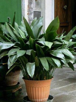 Aspidistra elatior (Cast-Iron Plant): description, care & propagation.