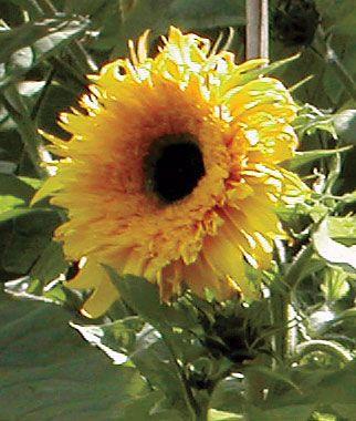Baby bear dwarf sunflower (Helianthus annus)