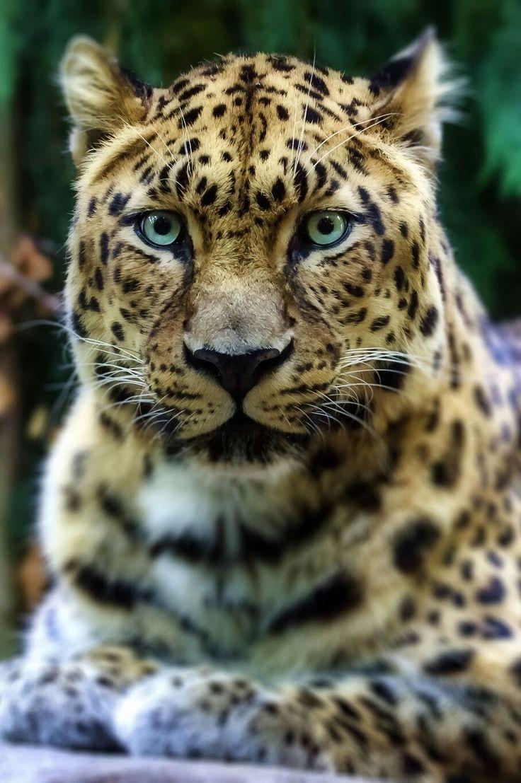 gorgeous Leopard <3  Looks like he/she just heard something :0