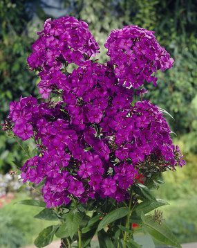 "Phlox paniculata:  Nicky Garden Phlox Perennials  Height: Tall 3-4' (Plant 20"" apart) Bloom Time: Summer to Early Fall  Sun-Shade: Full Sun   Zones: 4-8 Soil Condition: Normal, Clay, Sandy  Flower Color / Accent: Purple / Pink.  Bluestone Perennials, Inc"