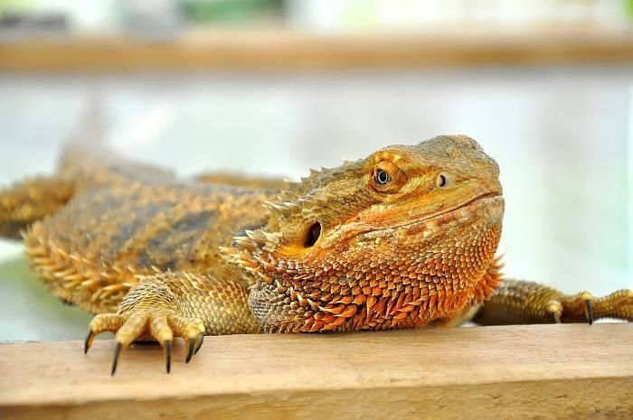 Bearded Dragons Have Become Quite A Preferred Pet In Recent Years
