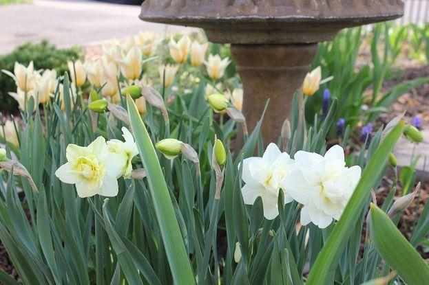 Daffodil 'Obdam'