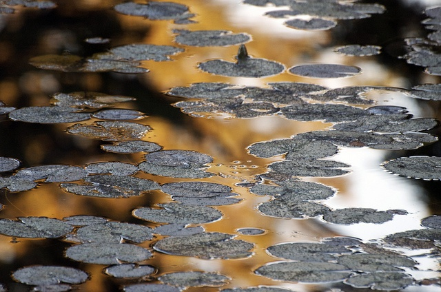 Autumn Gold at Lotus Lake by russell.tomlin, via Flickr