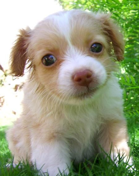 ... chihuahua 1/4 pomeranian and 1/4 jack russell terrier.: Jack Russell