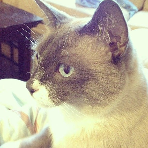 seal point Siamese. His name is Oliver and he's beautiful!