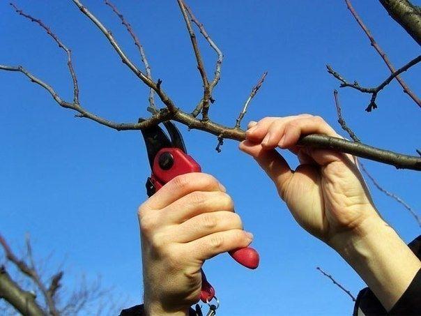 Обрезка плодовых деревьев - Садоводка