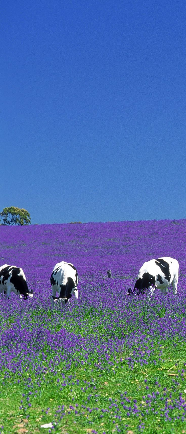 Cows grazing in Salvation Jane pasture, Clare Valley, South Australia. Two-hour drive from Adelaide. Stunning Color!