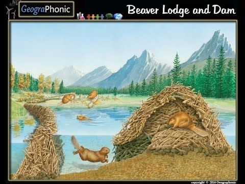Free quiz game :Beaver Lodge and Dam  beaver lodge, beaver, lodge,dam, beaver dam, Free quiz game, Free, quiz ,game,raised water level, water level, water, fresh water, fauna, flora and fauna, nature, natural, animal, animals, animal kingdom, zoo, back to the zoo, rivers, river, river area, tributaries, tribatuary, felling, trees,wood, underwater, entrance, underwater entrance, feeding shelf, eating chamber, nesting, nesting chamber, thin, ventilation shaft, ventilation, geographonic, bio,