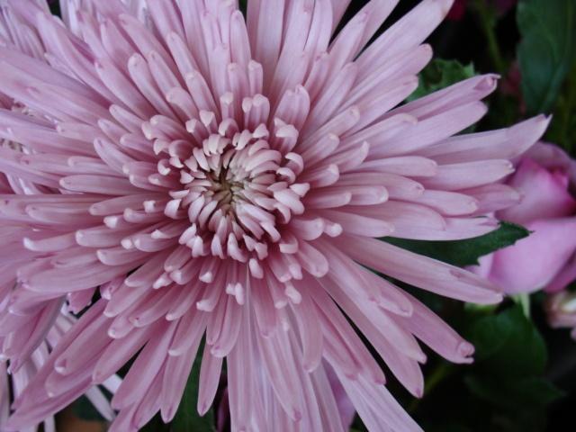 Purple Spider Mum. www.scrimsflorist.com