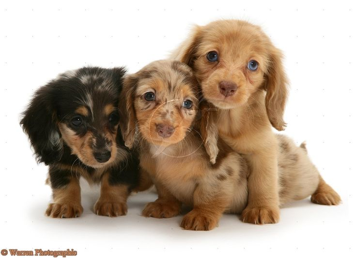 Cute <b>Puppy</b> <b>Dogs</b>: long haired miniature <b>dachshund puppies</b>