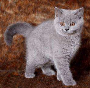 American shorthair kittens for sale adelaide