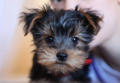 aw look at this cute little face :) minokhesDogs, Yorkie, Fashion Styles, Cute Things, The Face, Box, Pocket Book, Stuffed Animal, Puppies Face