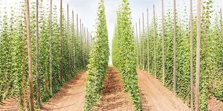 Brewing a perfectly balanced beer is an art. Learn how to strike a balance between the bitterness of the hops and the relative sweetness of the malt.