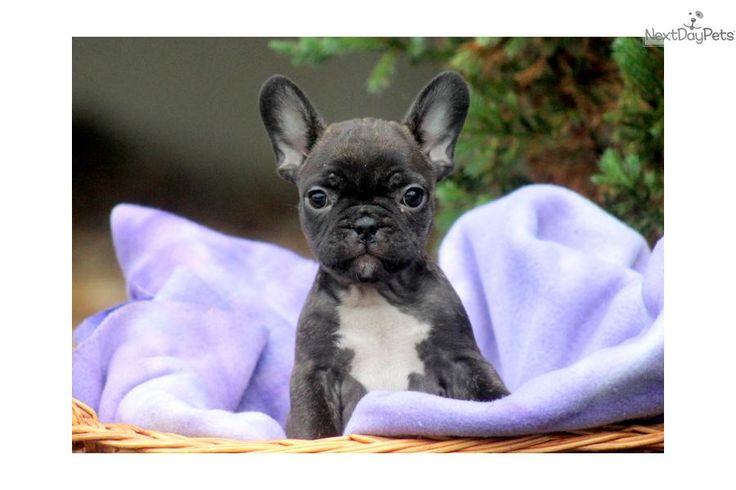 Mini French Bulldogs   Leesha - Mini French Bulldog Female