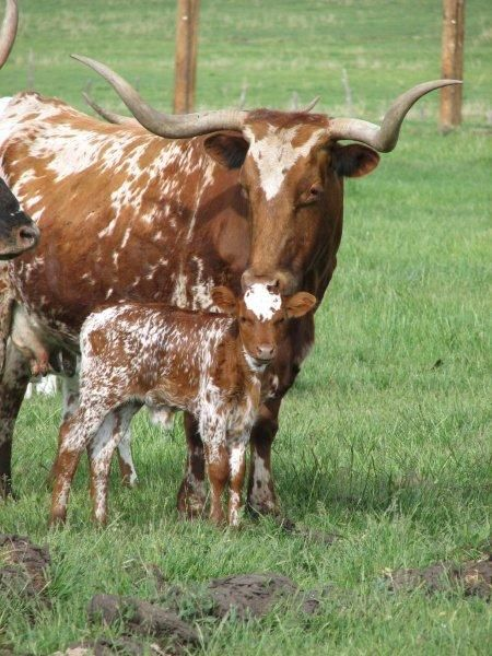 Longhorn Cattle.        As you can see, the calves are born without any horns. This comes as a great relief, I can assure you, to young expectant mothers.