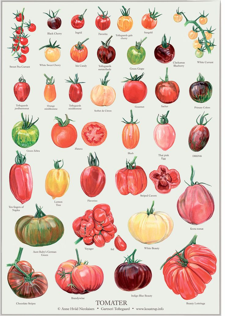 36 different kinds of tomatoes illustrated to be used on this poster as well as in a book about tomatoes. TOMATOS X 36 on Bechance by Anne Hviid Nicolaisen