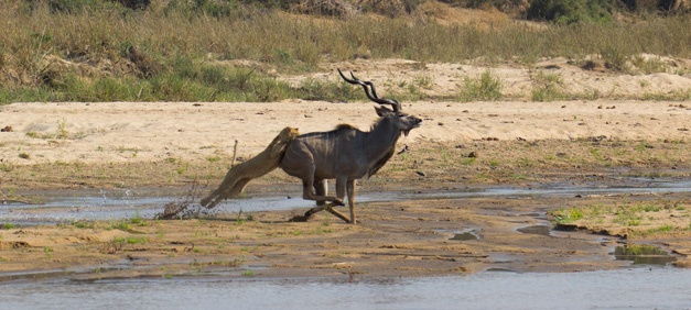 5- The lioness leaps onto the Kudu bull - Gary Hill