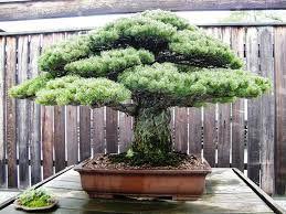 Risultati immagini per bonsai