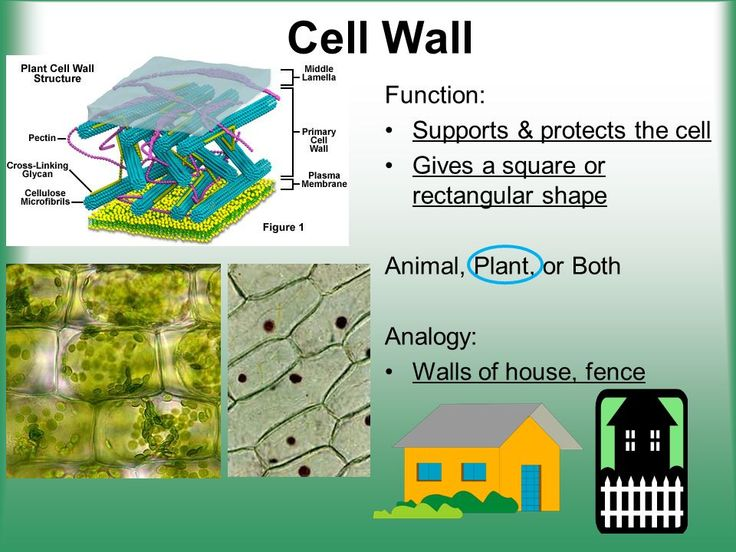 cell structure function ppt video online download in on cell wall function id=51358