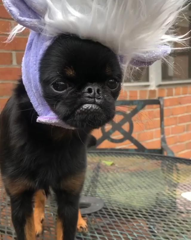 Meet Chico A Small Pooch With A Grumpy Face 60 Pics In 2020