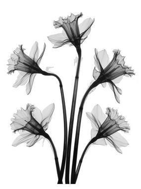 X-ray art - daffodils