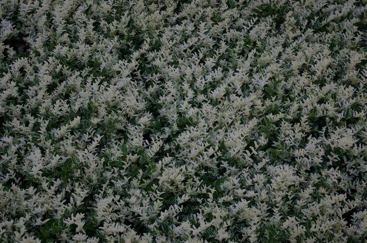 Euonymus Harlequin - Kardinaalsmuts: Deze plant heeft een grote sierwaarde, vooral bv. als accentplant tussen het groen dankzij de mooie vorm, de bloeiwijze en de bladkleur. Dit soort onderscheid zich van andere Euonymus soorten dankzij de helder witte blaadjes aan de toppen.