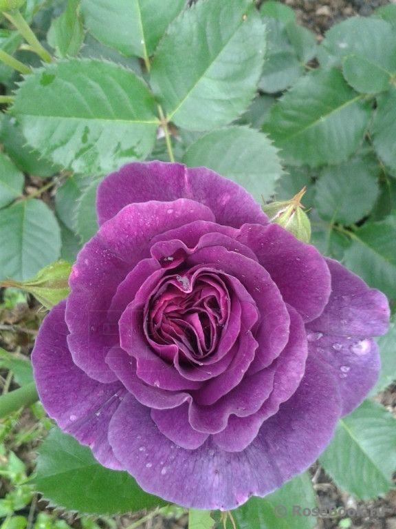 'Minerva'   Floribunda Rose. Martin Vissers Belgium, 2010