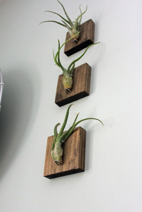 Set of Three Mounted Air Plants // Medusa's Head by GemsOfTheSoil, $43.00  Kinda creepy but very cool!