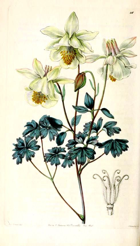 "Vintage drawing of columbine, Edwards' Botanical Register. The common name, ""columbine"" refers to the flower's dovish look, whereas its botanical name, Aquilegia, refers to an entirely different type of bird. Find out which one here: http://landscaping.about.com/od/perennialflowers/p/columbine_plant.htm"