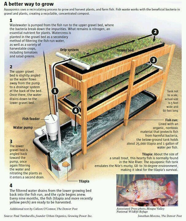 """#Aquaponic gardening is another type of Hydroponics, using Fish in a tank to """"fertilize"""" your #Vegetable plants. The water from the fish tank is circulated to the growing trays to provide water and nutrients to your plants."""