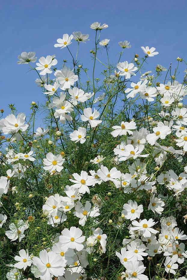 Tall Garden Flowers 44 best cosmos images on pinterest | cosmos flowers, beautiful
