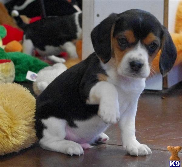 Miniature Beagle Puppy