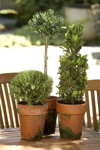 rosemary & boxwood