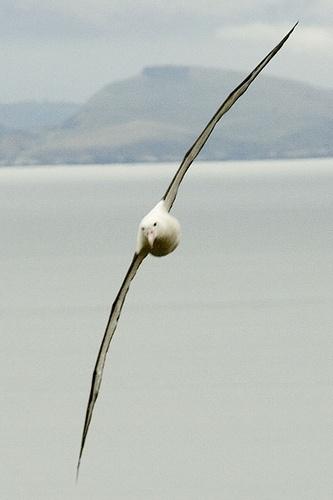 The wingspans of the largest great albatrosses are the largest of any bird, exceeding 340 cm (11.2 ft). lbatross have high glide ratios, around 22:1 to 23:1, meaning that for every meter they drop, they can travel forward 22 metres.