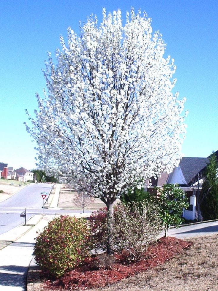 Ornamental trees hardiness zone 4 8 max height 40 39 max for Hardy flowering trees