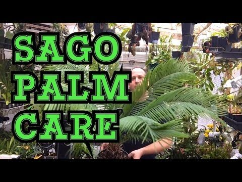 SAGO PALM HOUSE PLANT CYCAD CARE: MY TIPS AND TRICKS TO CARE FOR SAGO PALMS - YouTube