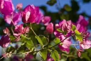 How do I Care for the Bougainvilla Flower? thumbnail