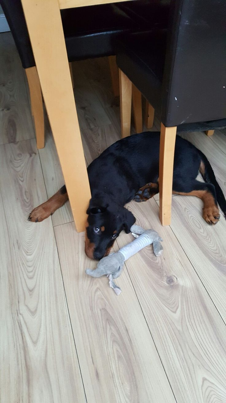 I not chewing table leg look i got teddy