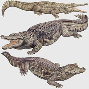 Whats the difference between an alligator and a crocodile?: Animal Planet