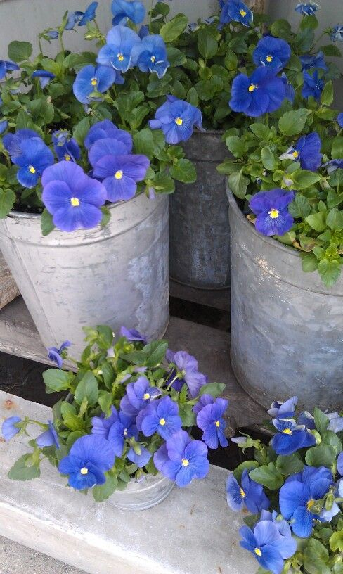 Love the blue color....pansies --idea for this spring in my tubs on the tree stumps...but use petunias.