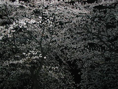 海津大崎の夜桜