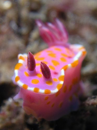 A nudibranch is a member of Nudibranchia, a group of soft-bodied, marine gastropod mollusks which shed their shell after their larval stage. They are noted for their often extraordinary colors and striking forms. Wikipedia