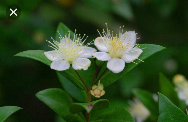 Myrtle Blossoms Myrtle Essential Oil Essential Oils For Cough Myrtle Flower